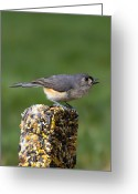 Tail Feathers Greeting Cards - Tufted Titmouse on Treat Greeting Card by Bill Tiepelman
