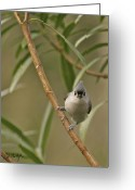 Titmouse Greeting Cards - Tufted Titmouse Greeting Card by Phill  Doherty