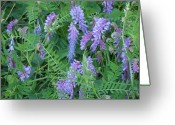 Mark Lehar Greeting Cards - Tufted Vetch Greeting Card by Mark Lehar