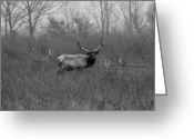 Black Elk Greeting Cards - Tule Elk Bucks Merced County CA Greeting Card by Troy Montemayor