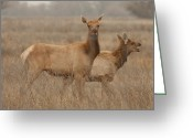 Merced County Greeting Cards - Tule Elk Cows Merced County CA Greeting Card by Troy Montemayor
