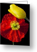 Orange Greeting Cards - Tulip and Iceland Poppy Greeting Card by Garry Gay