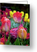 Designers Choice Digital Art Greeting Cards - Tulip Candy Greeting Card by Don  Wright
