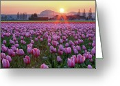 Tulip Greeting Cards - Tulip Field At Sunset Greeting Card by Davidnguyenphotos