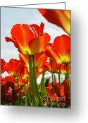 Rudi Prott Greeting Cards - Tulip Field Greeting Card by Rudi Prott