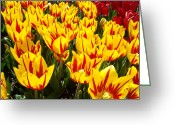 Modern Framed Prints Greeting Cards - Tulip Flowers Festival Yellow Red art prints Tulips Greeting Card by Baslee Troutman Fine Art Prints
