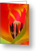 2012 Flower Calendar Greeting Cards - Tulip Intimate Greeting Card by Juergen Roth