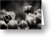 Cornwall Greeting Cards - Tulip on Top Greeting Card by Justin Albrecht