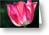 Botanical Photo Greeting Cards - Tulip Painted in Shades of Pink Greeting Card by Rona Black