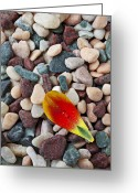 Veins Greeting Cards - Tulip petal and wet stones Greeting Card by Garry Gay