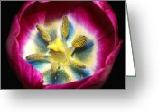 Photography Tk Designs Greeting Cards - Tulip With Blue Center Closeup Greeting Card by Tracie Kaska