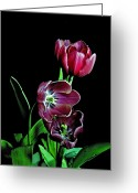 Flower Works Greeting Cards - Tulips. Greeting Card by Chris  Kusik
