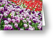 Spring Tulip Greeting Cards - Tulips Field Greeting Card by Sebastian Musial
