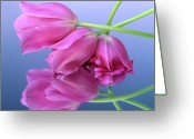 Close-ups Greeting Cards - Tulips .Tulipa. Greeting Card by Bernard Jaubert