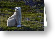 Ursus Maritimus Greeting Cards - Tundra Bear Greeting Card by Tony Beck