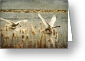 Canada Swan Greeting Cards - Turf Wars Greeting Card by Lois Bryan