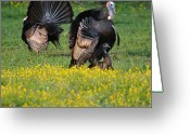 Eastern Turkey Greeting Cards - Turkey Love Greeting Card by Todd Hostetter