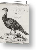 Cross Breed Greeting Cards - Turkey-pheasant Cross, 18th Century Greeting Card by Middle Temple Library