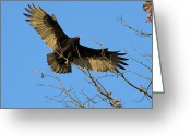 Buzzard Wings Greeting Cards - Turkey Vulture coming in for a landing Greeting Card by Doris Potter