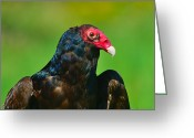 Buzzard Photo Greeting Cards - Turkey Vulture Greeting Card by Tony Beck
