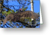 Buzzard Photo Greeting Cards - Turkey Vulture with Wings Spread Greeting Card by Sharon  Talson