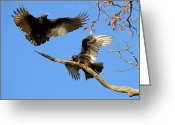 Buzzard Wings Greeting Cards - Turkey Vultures Greeting Card by Doris Potter