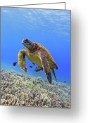 Swimming Photo Greeting Cards - Turtle Greeting Card by Chris Stankis