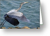 Blue Heron Photo Greeting Cards - Twigs A La Nest Greeting Card by Fraida Gutovich