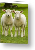 Green Greeting Cards - Twin Lambs Greeting Card by Meirion Matthias