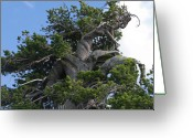 Old Tree Greeting Cards - Twisted and gnarled Bristlecone Pine tree trunk above Crater Lake - Oregon Greeting Card by Christine Till
