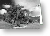 Survivor Greeting Cards - Twisted old Bristlecone Pine above Crater Lake - Oregon Greeting Card by Christine Till