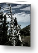 Barren Greeting Cards - Twisted Whitebark Pine Tree - Crater Lake - Oregon Greeting Card by Christine Till