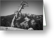 Reno Gregory Greeting Cards - Twisting Pine Greeting Card by Reno Gregory