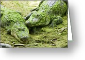 Watching Greeting Cards - Two Alligators Greeting Card by Garry Gay