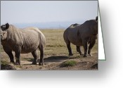 Safari Park Greeting Cards - Two Black Rhinos In Solio Rhino Greeting Card by Robin Moore
