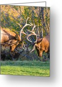Rocky Mountain Posters Greeting Cards - Two Bull Elk Sparring Greeting Card by James Bo Insogna