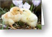 Livestock Greeting Cards - Two Chicks Kissing Greeting Card by Jorja M. Vornheder