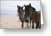 Wild Horses Greeting Cards - Two Curious Wild Horses On The Beach Greeting Card by Nick Caloyianis