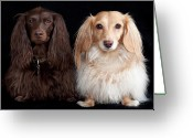 Two Animals Greeting Cards - Two Dachshunds Greeting Card by Doxieone Photography