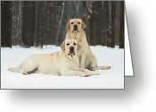 Yellow Dog Greeting Cards - Two Dogs In The Snow Greeting Card by Sergey Ryumin