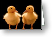 Duckling Greeting Cards - Two Ducklings Looking At One Another Greeting Card by Don Farrall