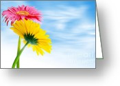 Sunshine Daisy Greeting Cards - Two Gerberas Greeting Card by Carlos Caetano