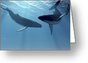 Sea Life Digital Art Greeting Cards - Two Humpback Whales Frolic In The Rays Greeting Card by Corey Ford