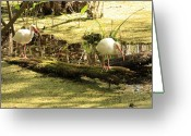 Florida Swamp Greeting Cards - Two Ibises on a Log Greeting Card by Carol Groenen