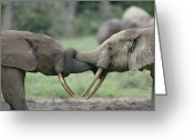 African Animals Greeting Cards - Two Juvenile African Elephants Greeting Card by Michael Fay