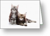 Coon Greeting Cards - Two Kittens Of Maine Coon Cat Greeting Card by Ultra.f