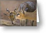 Henry Doorly Zoo Greeting Cards - Two Klipspringers At The Henry Doorly Greeting Card by Joel Sartore