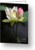 Lotus Bud Greeting Cards - Two Lotus Flowers Greeting Card by Sabrina L Ryan