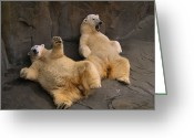 Resting Animals Greeting Cards - Two Lounging Polar Bears Greeting Card by Joel Sartore