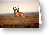 Canada Digital Art Greeting Cards - Two male Pronghorn Antelopes in Alberta Greeting Card by Mark Duffy